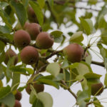 Photo of Brandy perry pear from Llanblethian Orchard