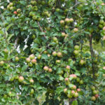 Photo of Pig Aderyn cider apple from Llanblethian Orchard