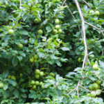 Photo of Piccadilly cider apple in Llanblethian Orchard