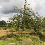 Breakwells seedling tree in Llanblethian orchard, Cowbridge.