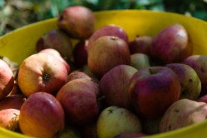 Yarlington Mill apples