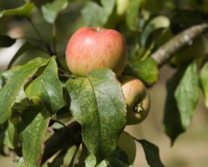 Breakwells Seedling apple on tree