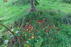 pig aderyn apples
