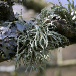 Antler lichen on perry tree branch vale of glamorgan