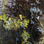 Photo of different types of Lichen growing in Llanblethian Orchard, Cowbridge