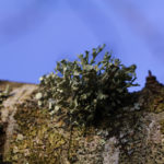 Photo of pixies cup type lichen as well as foliose type lichens in Llanblethian Orchard, Cowbridge.