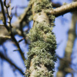 Photo of fruticose lichen growing in Llanblethian Orchard, Cowbridge