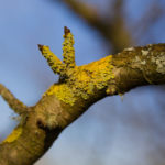 Photo of yellow Lichen growing in Llanblethian Orchard