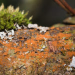 Lichen on willow branch in wood, South Wales