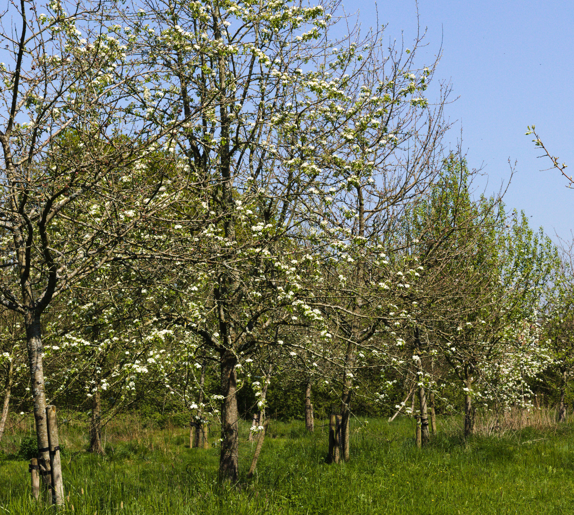 Avenue of trees flowering in Llanblethian orchard