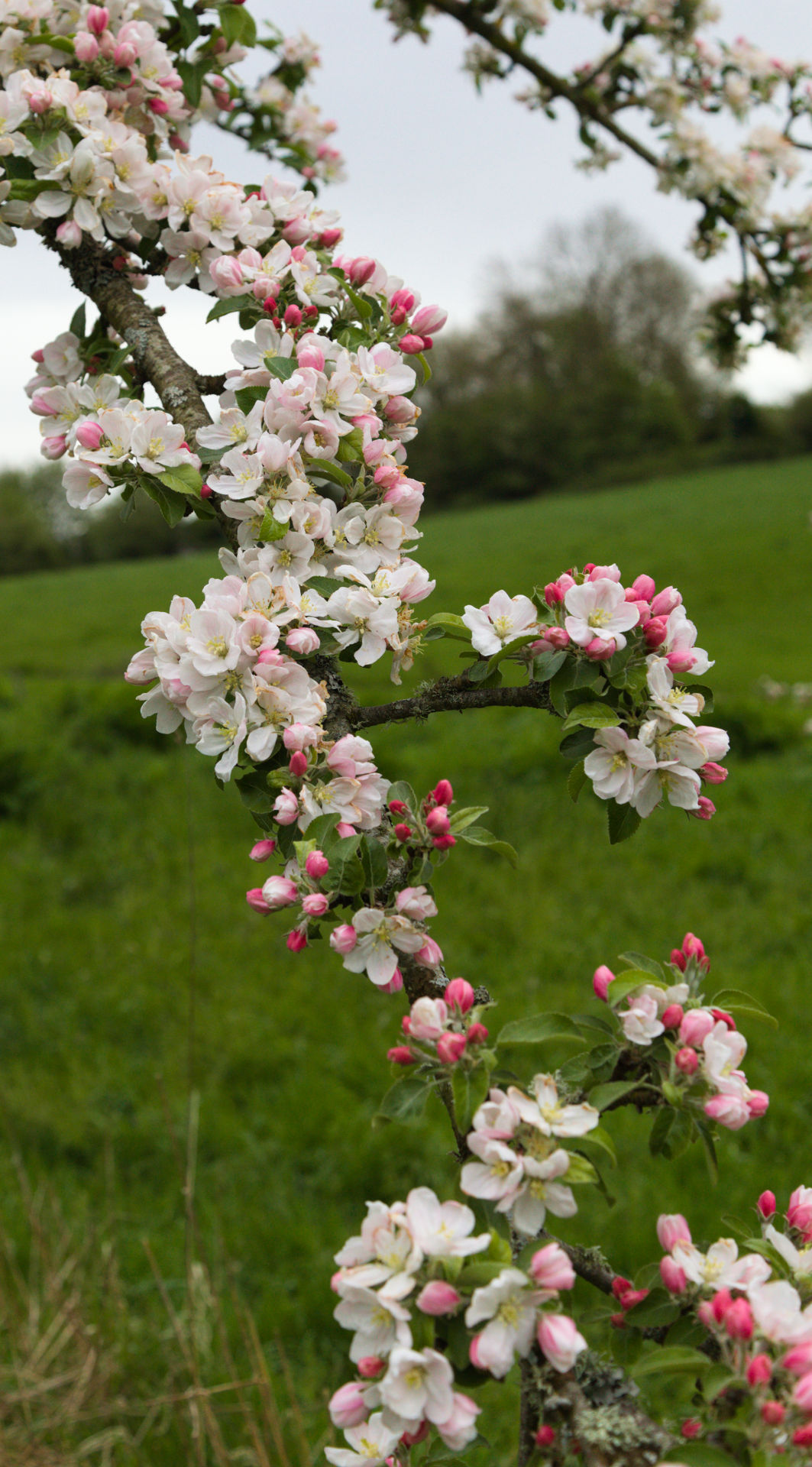 Tom Putt flowering branch in cowbridge south wales