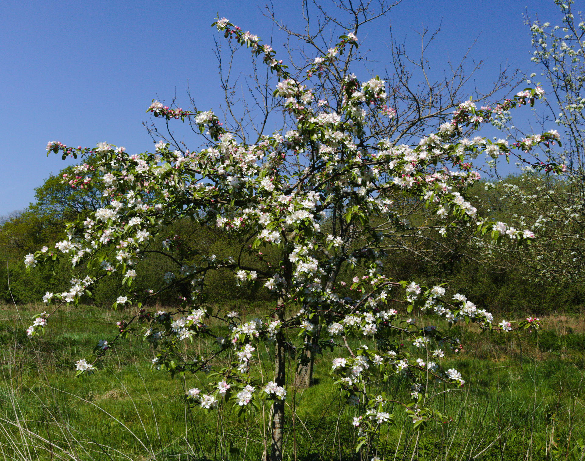 Crab apple flowering - butterball - in cowbridge south wales