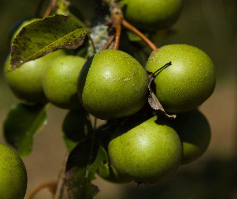 Barnet pears on branch