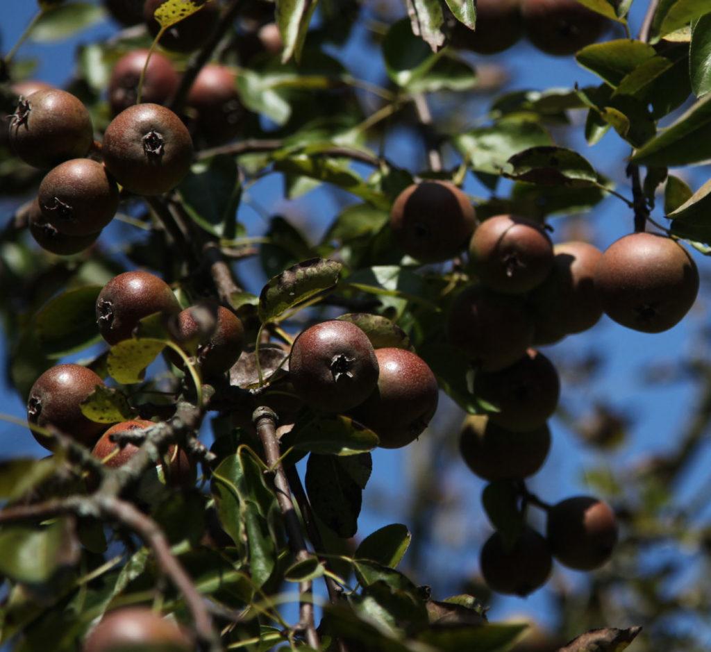Brandy pears on branch