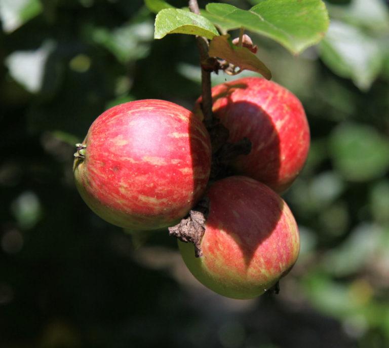 Broxwood foxwhelp apple on branch