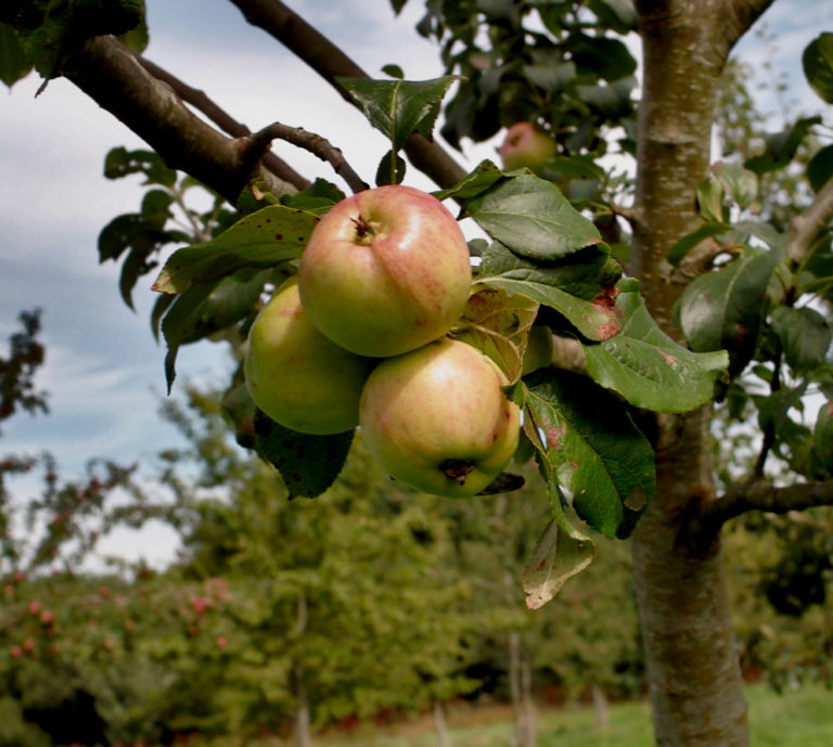 Cummy Norman apples on branch
