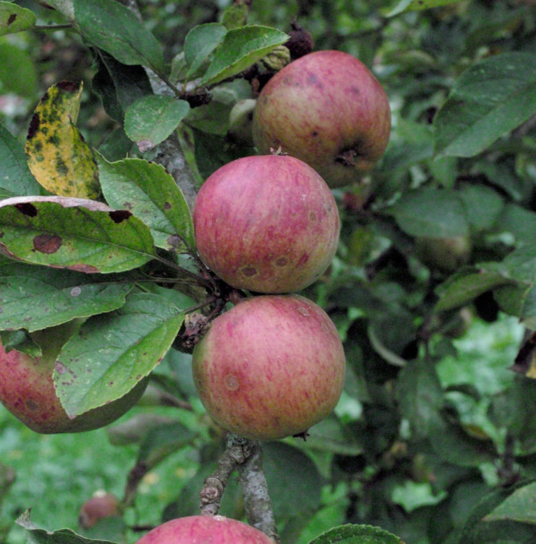 Dabinett apple on branch