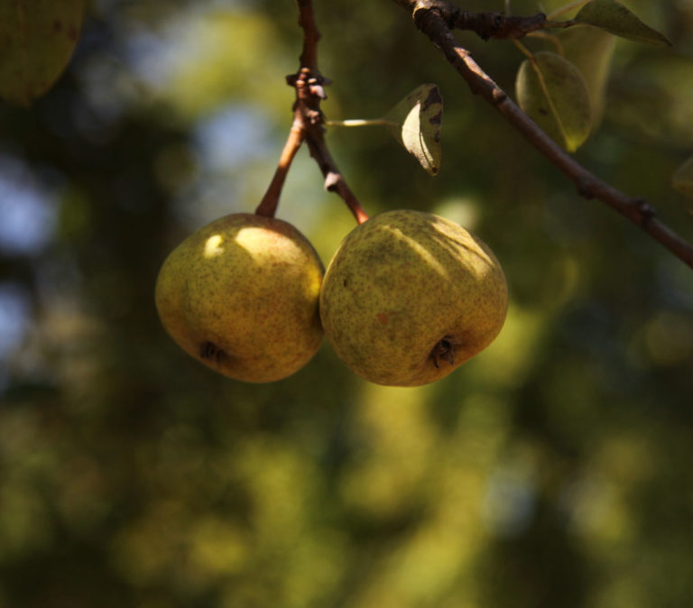 Gwehelog pears on branch