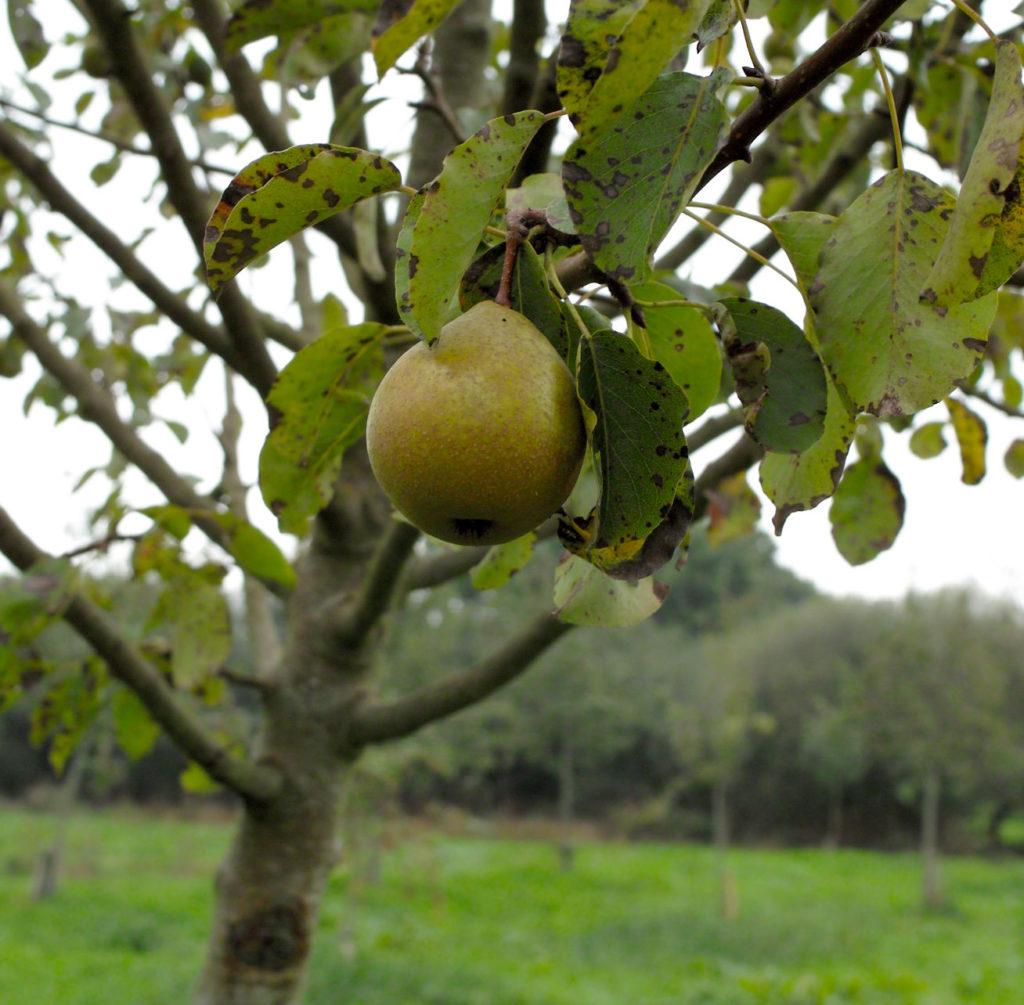 Gwehelog red pear on branch