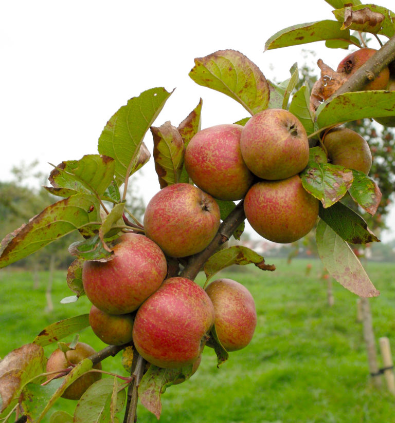 Langworthy apples on branch 3