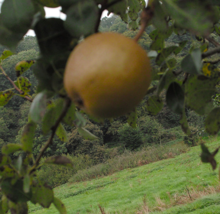 Potato pear on branch blurred
