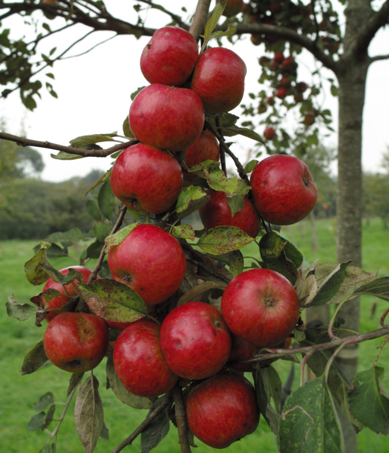 Stoke red apples on branch ripe