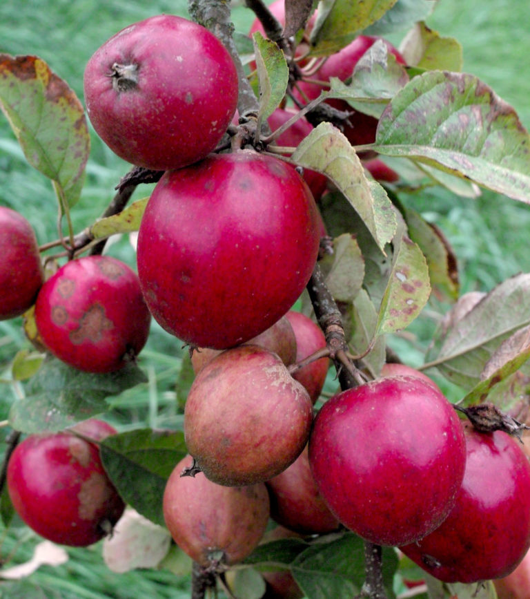 Tremletts bitter apples on branch2