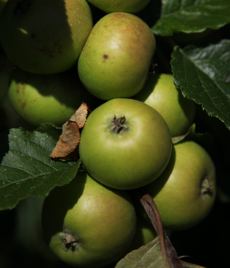 Vilberie apples on branch