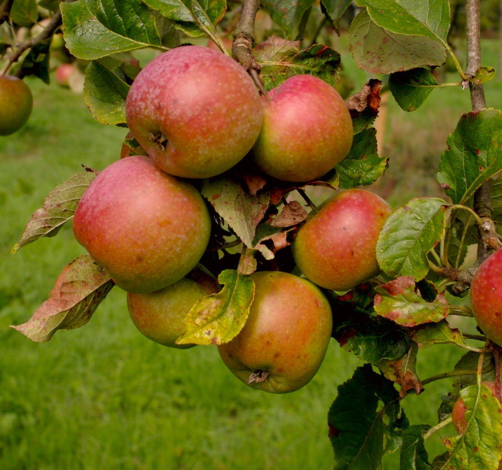Woolbrook pippin apples on branch
