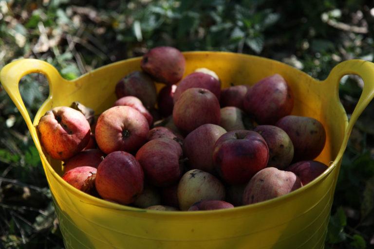 Yarlington Mill apples in bucket