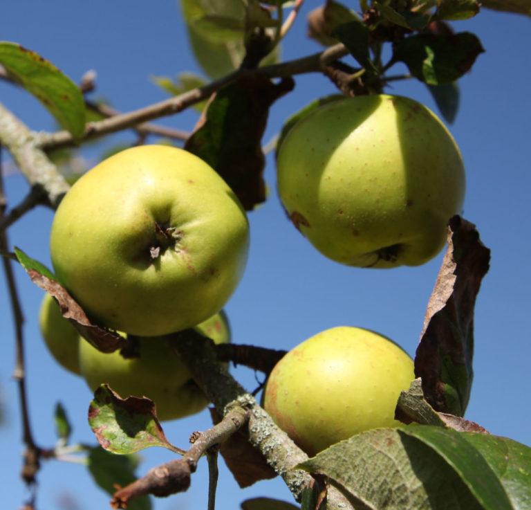 Morgans Sweet apples on tree